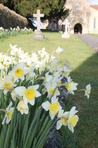Cuddesdon Daffodils