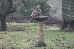 Red kite at the Rectory